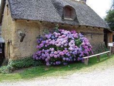 Hortensia Hydrangea, Hydrangea Bush, Purple Hydrangeas, Hydrangea Macrophylla, Purple Flowers, Diy Garden, Garden Cottage, Dream Garden, Garden Landscaping