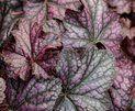 Dolce® Blackcurrant - Coral Bells - Heuchera hybrid   Proven Winners
