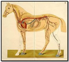 Horse fetlock joint hippology pinterest horse vet med and equine circulatory system ccuart Gallery