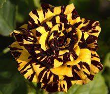 Simsalabim Rose