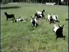 Funny fainting goats