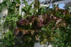 Beautiful Red Summer Crisp Cherokee Lettuce grown in a Tower Garden http://livingtowers.towergarden.com
