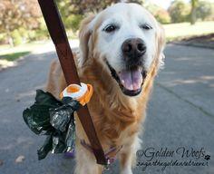 Take Your Dog For A Walk: Sugar The Golden Retriever