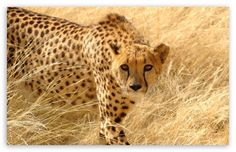 Cheetah: The cheetah can run faster than any other land animal— as fast as 70 to 75 mph in short bursts covering distances up to 500 m (1,600 ft), and has the ability to accelerate from 62 mph in three seconds. This cat is also notable for modifications in the species' paws. It is one of the few felids with semi-retractable claws