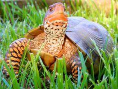 Missouri State Reptile: Three-Toed Box Turtle
