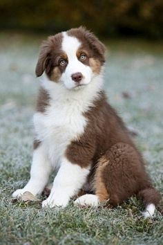 Australian Shepherd puppy sitting in a meadow,North Tyrol,Austria,Europe Animals And Pets, Baby Animals, Cute Animals, Beautiful Dogs, Animals Beautiful, Pet Dogs, Dog Cat, Doggies, Cute Puppies