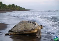 Tortuguero National Park - Canals and Nesting Sea Turtles