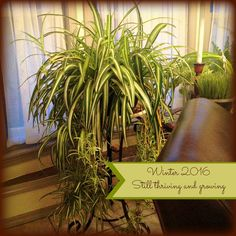 Keeping the Spider Plant inside During Winter