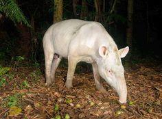 Super-Rare Albino Tapir Photographed in Brazil (May 2014). It's the first known photo taken of an albino lowland tapir (Tapirus terrestris) in the wild.