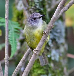 Streak-headed Ibon  (Lophozosterops squamiceps) a.k.a. Streak-headed white-eye,  Streaky-headed white-eye, is a species of bird in the Zosteropidae family. It is endemic to Sulawesi, Indonesia. Its natural habitat is subtropical or tropical moist montane forests.