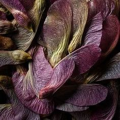 Magnificent Nature ~ Seed Pods ~ Purple Maple Seeds by Peter O'Hara Plum Purple, Purple Haze, Shades Of Purple, Green And Purple, Burgundy, Olive Green, Plum Color, Color Splash, Mauve
