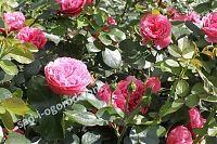цветение розы Леонардо да Винчи