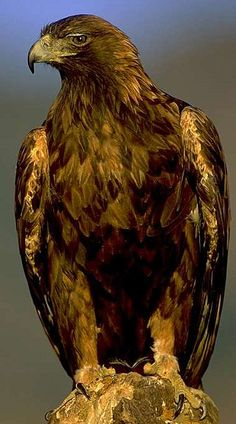 The Golden Eagle (Aquila chrysaetos) is one of the best known birds of prey in the Northern Hemisphere. Like all eagles, it belongs to the family Accipitridae. Pretty Birds, Love Birds, Beautiful Birds, Animals Beautiful, Cute Animals, Eagle Animals, Beautiful Pictures, Animals Amazing, Pretty Animals