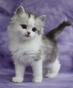 Cute Cats And Kittens Wallpaper Cute Kittens That Stay Small Kittens And Puppies, Cute Cats And Kittens, I Love Cats, Kittens Cutest, Baby Cats, Puppies Gif, Fluffy Kittens, Kittens Playing, Pretty Cats