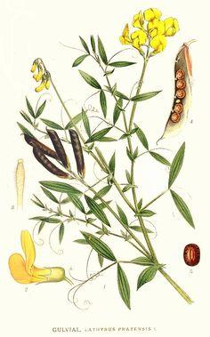 Lathyrus pratensis by Carl Axel Magnus Lindman.