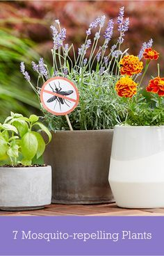 Discover nature's answer for avoiding mosquitos this summer. Reimagine your garden to include plants and herbs like basil or mint with natural mosquito-repelling qualities.