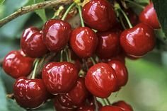 Tips for caring for sweet cherry trees: Cultivation, Pruning and Training, Propagation, Cultivator Selection, plus tips for problems.
