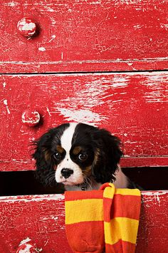 Puppy King Charles Cavalier