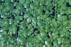 Duckweed is one of those rare plants that is very high in protein. The leaves can be eaten raw, or lightly sautéed. It is important to boil the plant prior to consumption, due to a chance of the leaves containing water borne parasites. Unusual Plants, Rare Plants, Survival Food, Survival Prepping, Secret Life Of Plants, Edible Wild Plants, Wild Edibles, Eating Raw, Edible Flowers