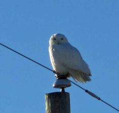 My husband and I decided to drive a different way home a couple of weeks ago from Angus to Stayner, Ontario.   What a treat to find a huge Snowy Owl sat