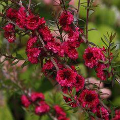 Red Damask' Leptospermum (Leptospermum scoparium; Manuka de Nueva Zelandia) Género de plantas de la familia myrtaceae. El nombre común de árbol del té también se utiliza para melaleuca y kunzea.