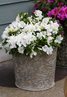 Why settle for just a week or two of flowers when you can enjoy up to five months of blooms? Large flowers appear in April, then rebloom in early July, continuing through fall until a hard frost. Bloom-a-thon White is a great choice for southern gardens, hardy to zone 6. Fall Flowers, Large Flowers, White Flowers, Beautiful Flowers, Container Plants, Container Gardening, Gardening Tips, Flower Containers, Growing Vegetables