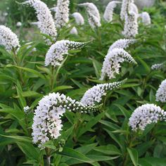 Lysimachia clethroides (Gooseneck loosestrife) well drained damp.