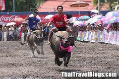 Resetips: Buffaloloppet i Chonburi | Thailand Forum - Tourism Authority of Thailand (TAT) bjuder nu in lokala och internationella turister att komma och se ett otroligt spektakel, det 143:e årliga buffaloloppet i Chonburi den 7:e oktober. Festligheterna kommer att utspelas framför Chonburi City municipality office med start klockan 10:00.