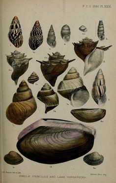 Marine shells, n442_w1150 conchological illustrations
