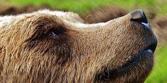 Trentino: volontariamente abbattuta l'orsa KJ2 nonostante i ricorsi depositati CRIMINALI!!!!!!!!!!!!!!