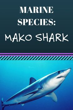 There are two species of mako shark, the shortfin and the longfin. The shortfin is far more common, with a few places in the world to spot them.