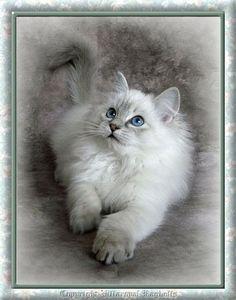 Ragdoll or Ragamuffin cat. They are sooo cute! Pretty Cats, Beautiful Cats, Animals Beautiful, Cute Animals, Pretty Kitty, Cute Cats And Kittens, I Love Cats, Cool Cats, Ragamuffin Cat