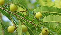 7 Benefits of Indian Gooseberry (Amla) Juice for Hairs.