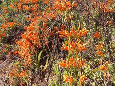 Florada de Cipó de São João. Sul de Minas, Brasil.
