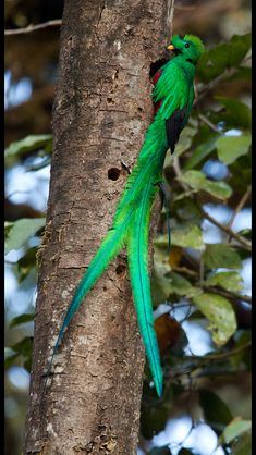 resplendent quetzal    (photo by chris jimenez)  kThis post has 225 notes  tThis was posted 2 weeks ago  zThis has been tagged with animals, bird, quetzal, Resplendent Quetzal,