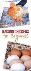 How to Raise Chickens for Beginners #urbanchickens