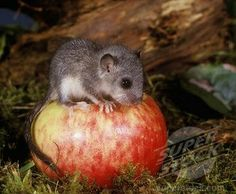 Dormouse Baby Trying an Apple