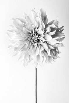 Flower Photography - Floral Still Life Photography, Pink Dahlia in Black and White, Cafe au Lait, Wall Decor, Wall Art