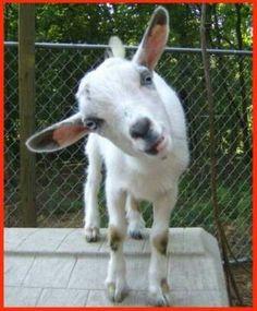 Baby kid Nigerian goat
