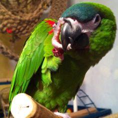 Josey the mini macaw!