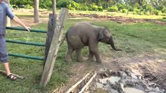 Apparently baby elephants are terrified of goats.