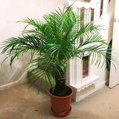 Phoenix Canariensis Canary Island Date Palm @ Pot Indoor Outdoor Tree Plant Big Plants, Cactus Plants, Indoor Plants, Palm Plant, Trees To Plant, Plant Leaves, Outdoor Trees, Indoor Outdoor, Gardens