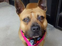 TO BE DESTROYED 05/22/14 Manhattan Center -P  My name is RYBACK. My Animal ID # is A0999765. I am a male brown and black pit bull mix. The shelter thinks I am about 2 YEARS   I came in the shelter as a STRAY on 05/14/2014 from NY 10456, owner surrender reason stated was STRAY.