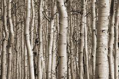 Aspen Forest - Bilder på lerret - Photowall