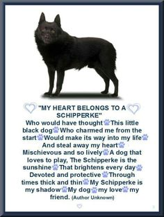 My  ❤ Belongs To A Schipperke