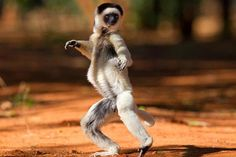 Dancing Sifaka lemurs caught on camera by British wildlife photographers in Madagascar Animals And Pets, Funny Animals, Cute Animals, Wild Animals, Dancing Animals, Dance Images, British Wildlife, Funny Animal Pictures, Animal Pics