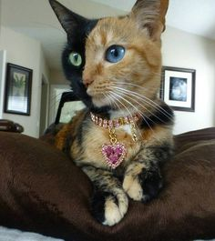 Two-Colored Kitty. #cat #kitty #twodifferentcoloredeyes http://buzznet.com/~g93d488