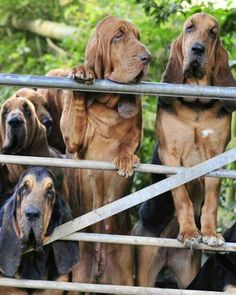 Ohh someday I'll be the crazy bloodhound lady!