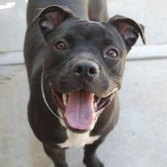 Killed :-( TO BE DESTROYED 6/4/13 Brooklyn Center  NENA A0966131 Spayed female black/white pit mix1 YR 4 MOS old.Nena is the perfect package! Unfortunately, she's on the ACC's TBD list tonite which means she won't see beyond tomorrow w/out our help. PLS share & advocate for this sweet girl for a special someone to call her own.She deserves to live beyond tomorrow & help save her now! https://www.facebook.com/photo.php?fbid=616757841670432=a.611290788883804.1073741851.152876678058553=3