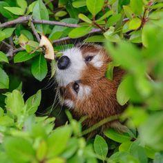 茂みの中からこんにちは Hello from in the bush #笑笑 #クスクス #redpanda #redpanda_nippon #到津の森公園 #PENTAX
